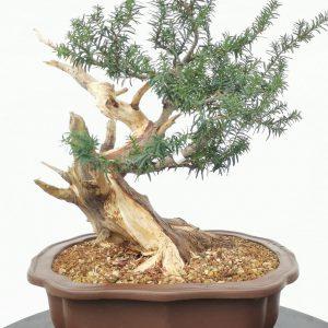 bonsai conifera