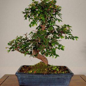 bonsai caducifoglia